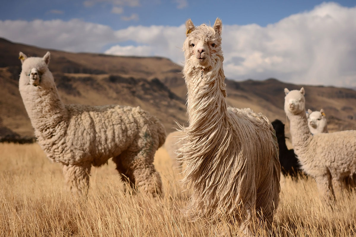 В Шамахе открылась ферма альпака