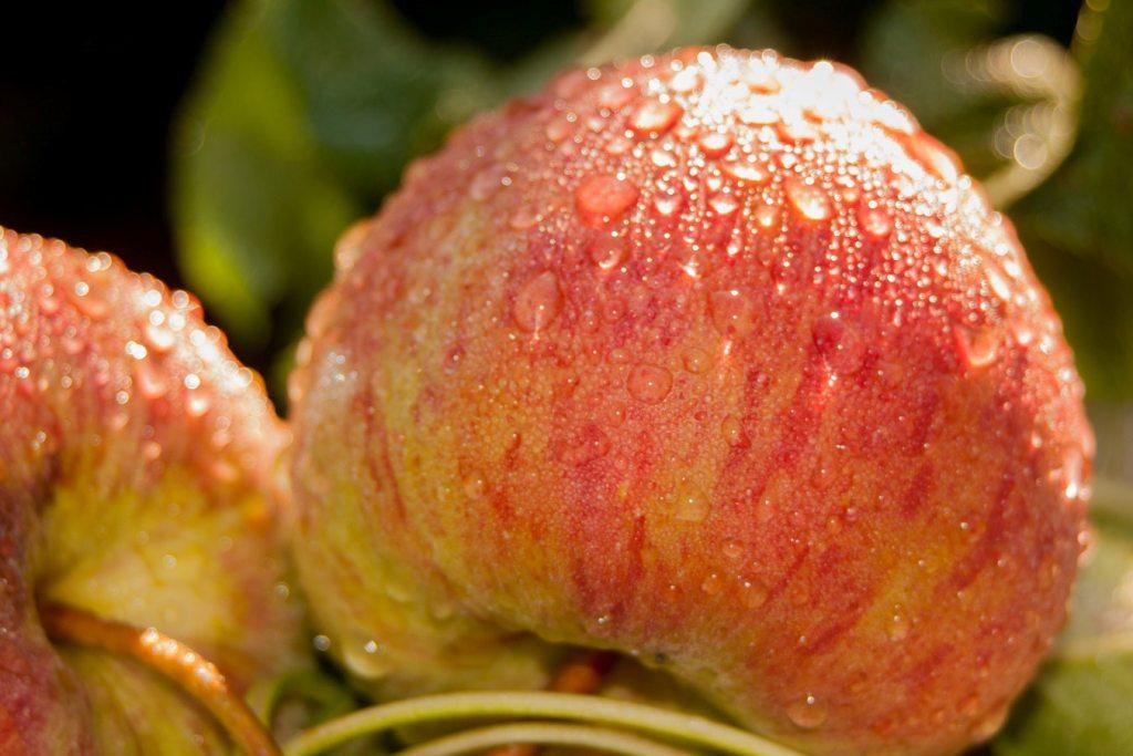Губа приглашает на Праздник яблок